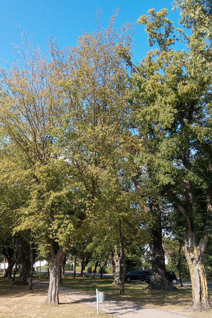 Abbildung 2: Ein Jahr nach der Baumaßnahme weist eine lichte Kronenstruktur auf deutliche Vitalitätsmängel der Bäume hin.