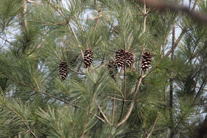 listy Borovice vejmutovka