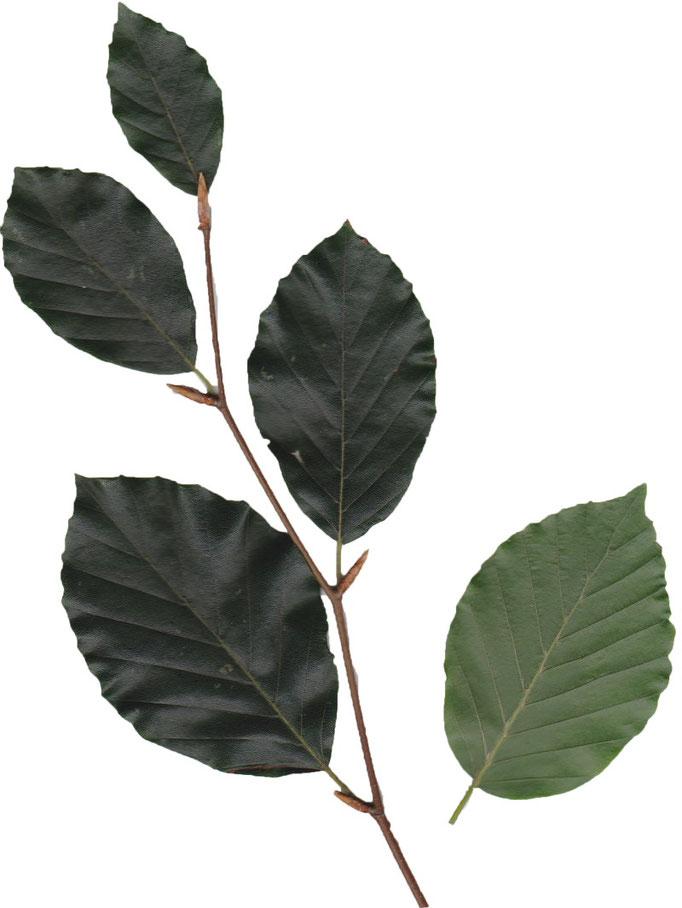 liści Buk zwyczajny