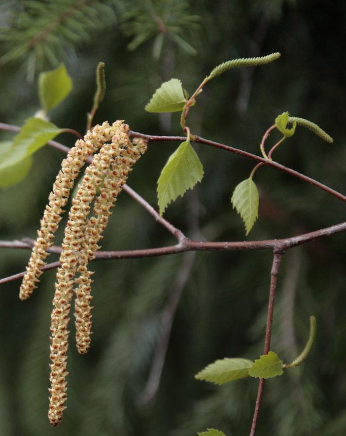 Blüte Gewöhnliche Birke