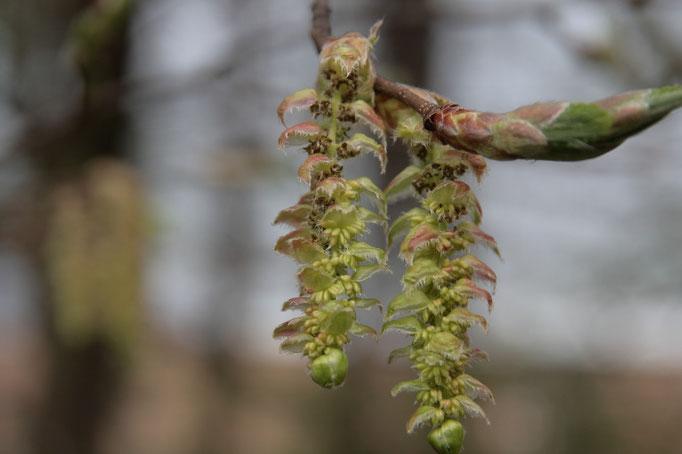 květy Habr obecný