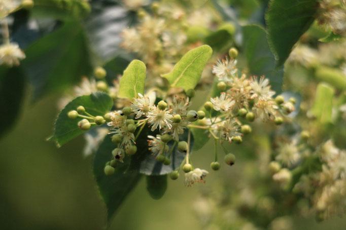 květy Lípa malolistá