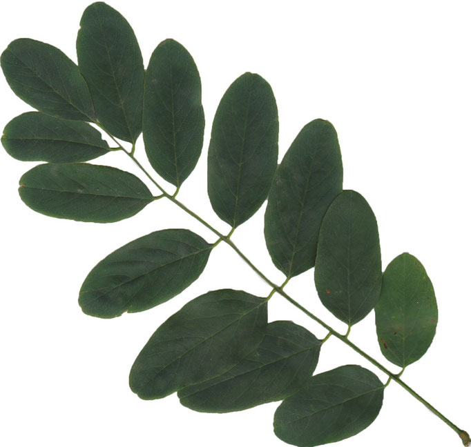 Blätter Gewöhnliche Robinie