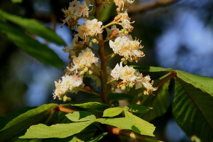 květy Jírovec maďal