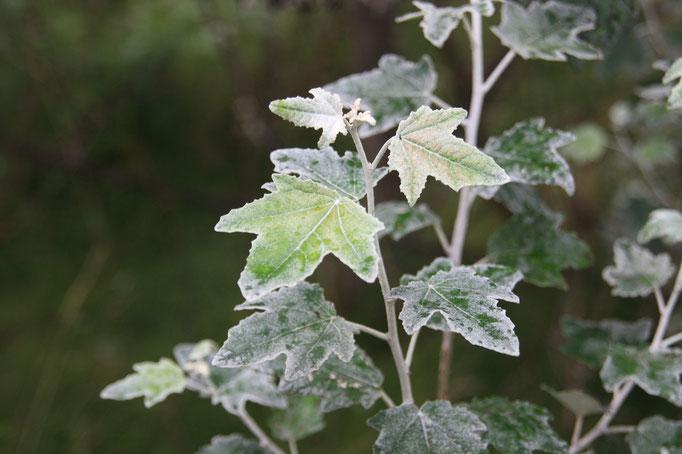 liści Topola biała