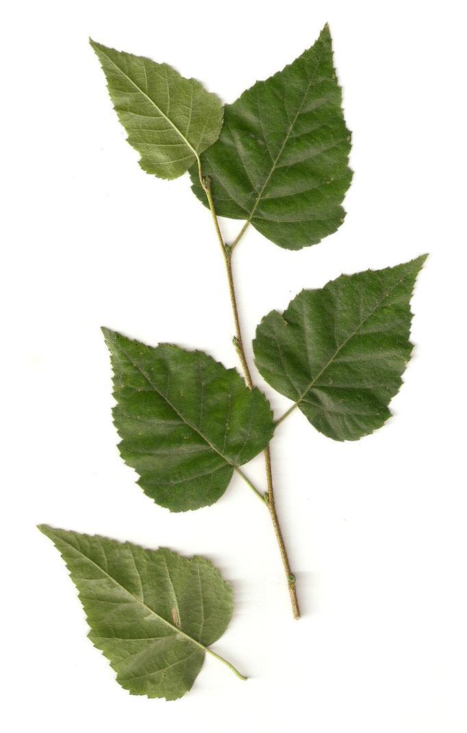 liści Brzoza brodawkowata
