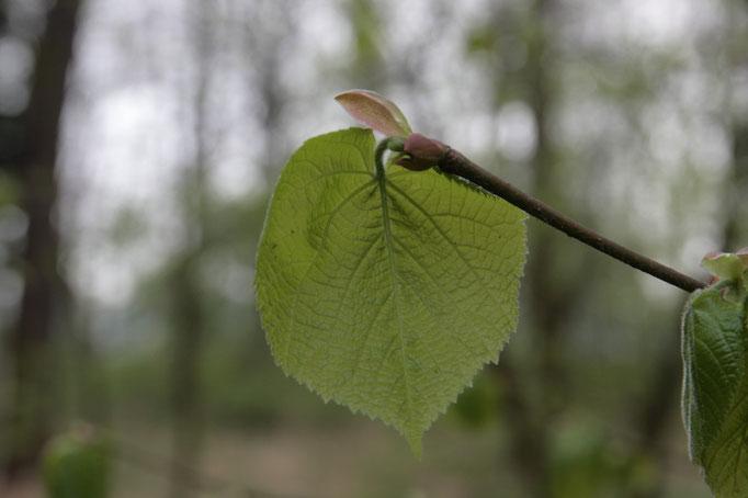 liści Lipa szerokolistna