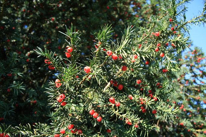 plody Tis červený