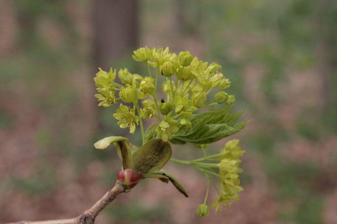 Blüte Spitz-Ahorn