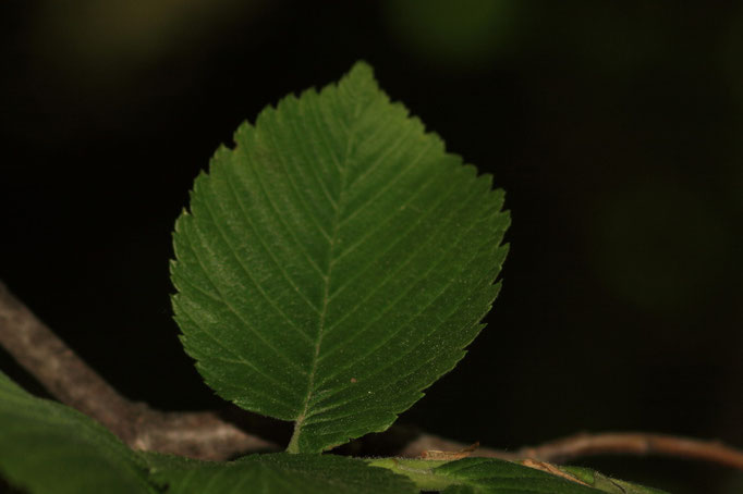 Blätter Flatter-Ulme