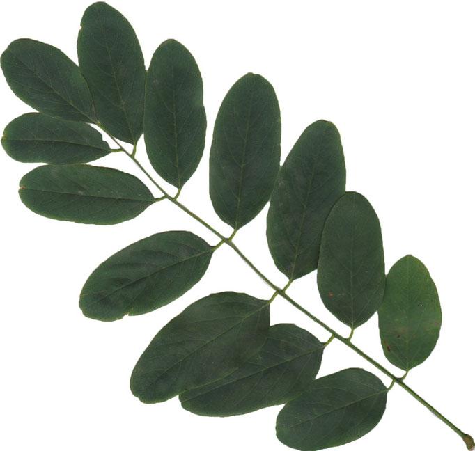 liści Robinia akacjowa
