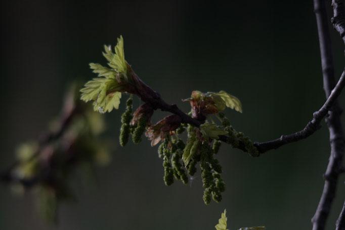 Blüte Stiel-Eiche
