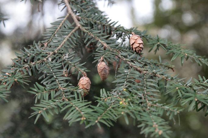 Früchte Kanadische Hemlocktanne