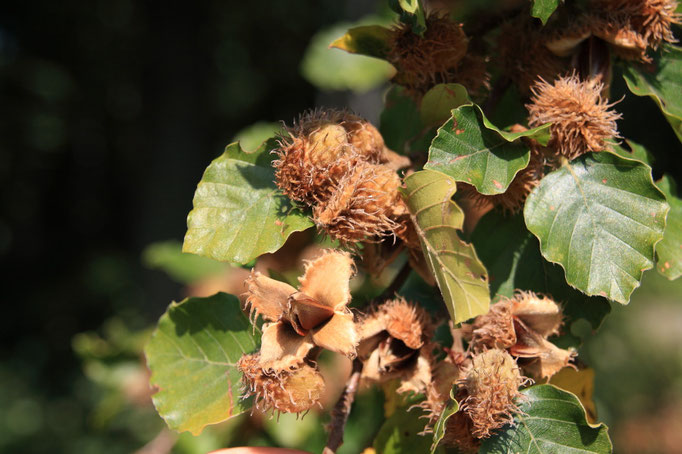 plody Buk lesní