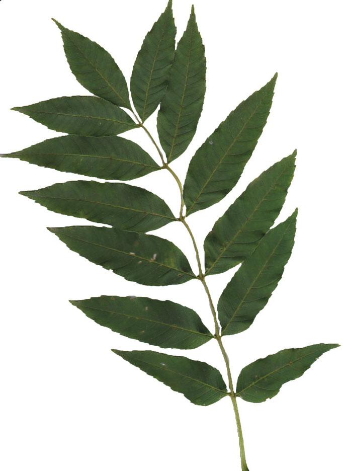 liści Jesion wyniosły