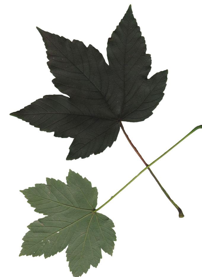 Blätter Berg-Ahorn