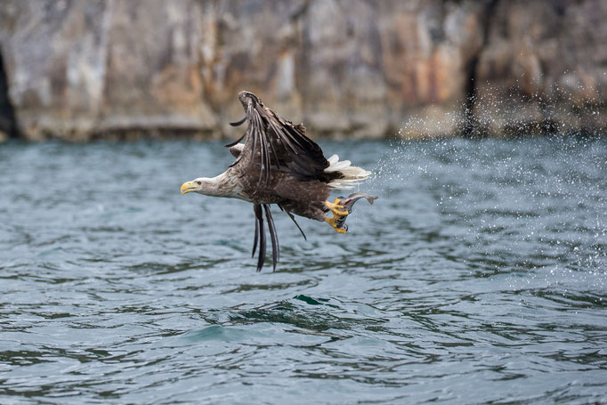 Seeadler beim Fang