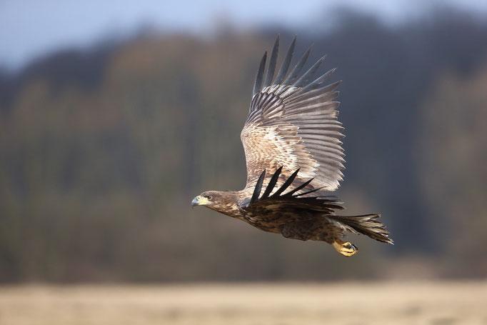 Seeadler