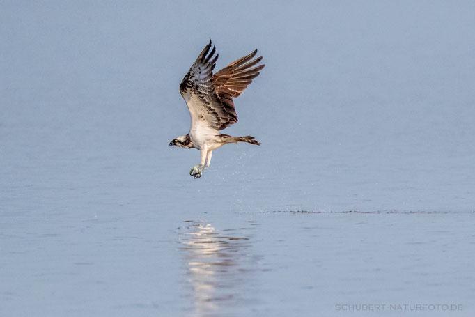 Fischadler nach erfolgloser Jagd