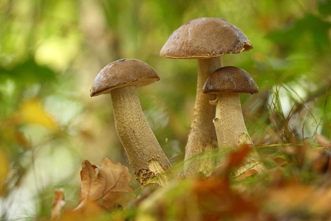 Steinpilzgruppe