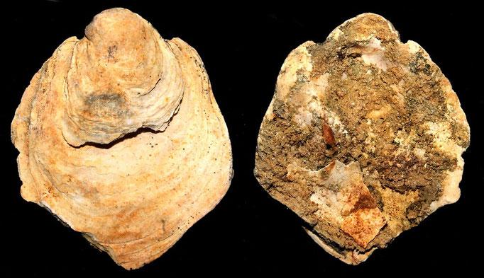 Ostrea edulis, calcareniti di Tarquinia (VT)