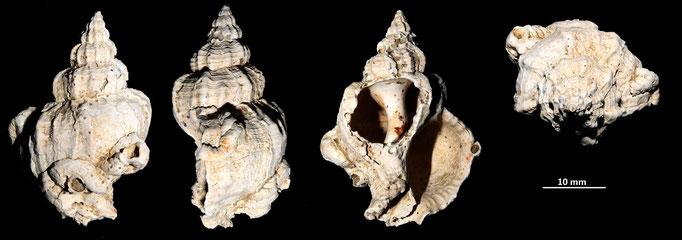 Hexaplex trunculus, Macchia della Turchina (Monteromano, VT)