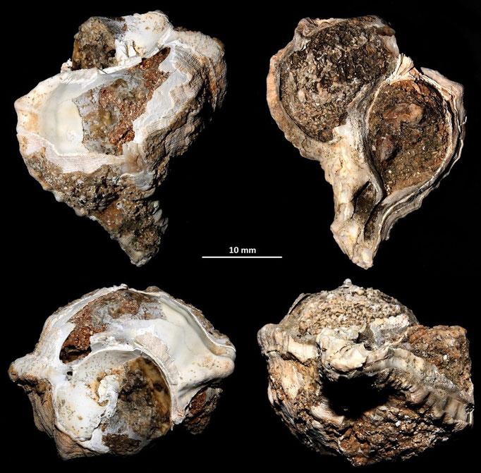 Hexaplex trunculus? Sant'Agostino (Civitavecchia, RM)