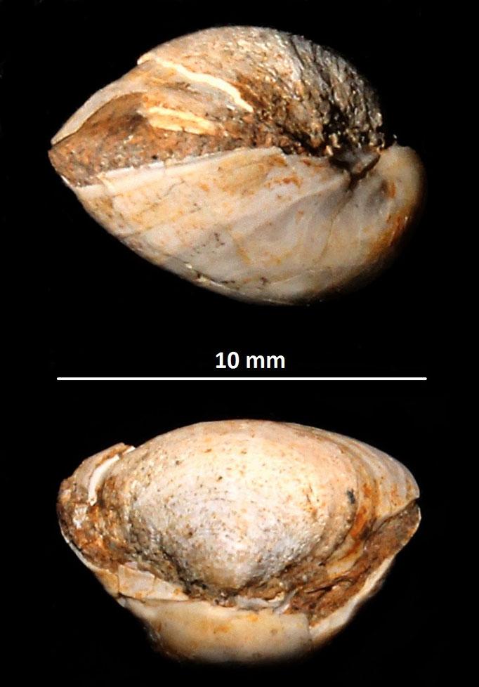 Corbula gibba, Sasso Marconi (BO), Pliocene