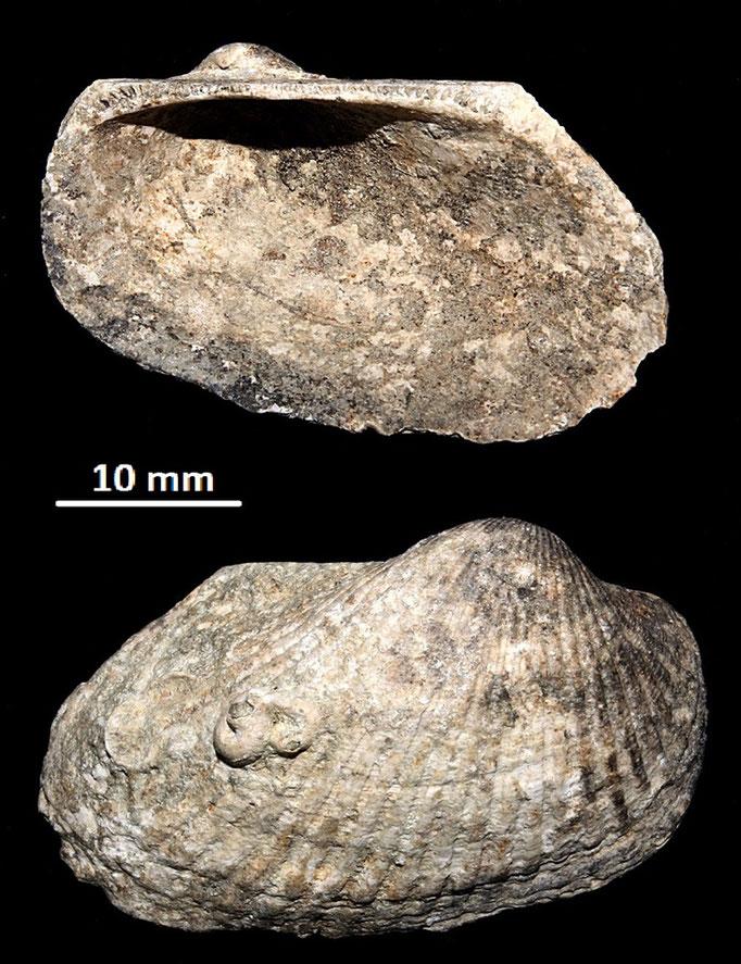 Anadara darwini, Macchia della Turchina (Monteromano, VT)