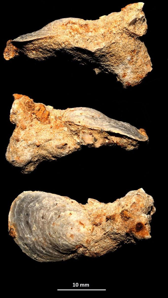 Ostrea edulis, sabbie a echinodermi di Tarqunia (VT)