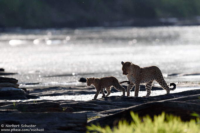 Leopardin Bahati mit Nachwuchs beim Flussübergang. Nikon D750, AF-S Nikkor 600mm F 4.0E FL ED VR, 1/1250 F4.5 ISO 220