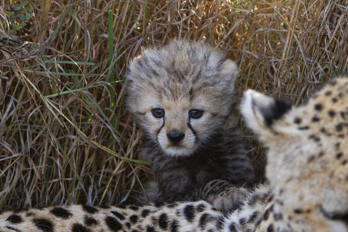 Gepardin mit Baby Masai Mara, Kenia fotografiert Uwe Skrzypczak