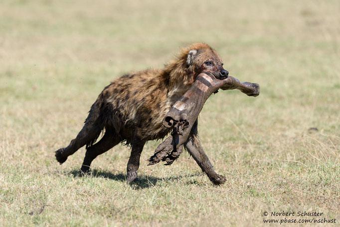 Eine Hyäne flieht mit dem Rest eines Zebrarisses. Nikon D810, AF-S Nikkor 400mm F 2.8E FL ED VR, 1/1250 F5.0 ISO 250