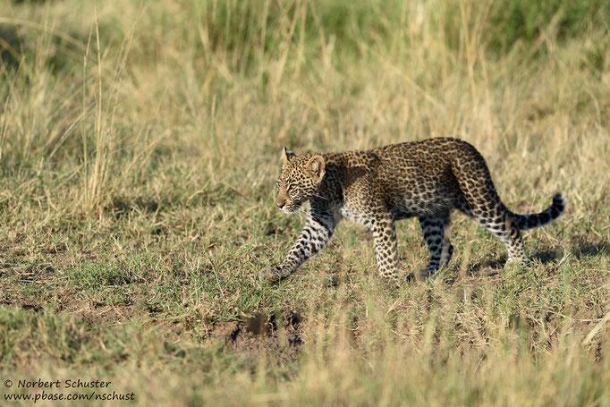 Bahatis Nachwuchs folgt der Mutter. Nikon D750, AF-S Nikkor 600mm F 4.0E FL ED VR, 1/1250 F4.5 ISO 280