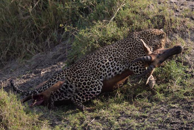 Leopardin Luluka, fotografiert Uwe Skrzypczak