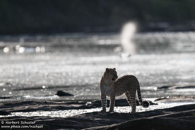 Leopardin Bahati am Olare Orok River. Nikon D750, AF-S Nikkor 600mm F 4.0E FL ED VR, 1/1250 F4.5 ISO 140