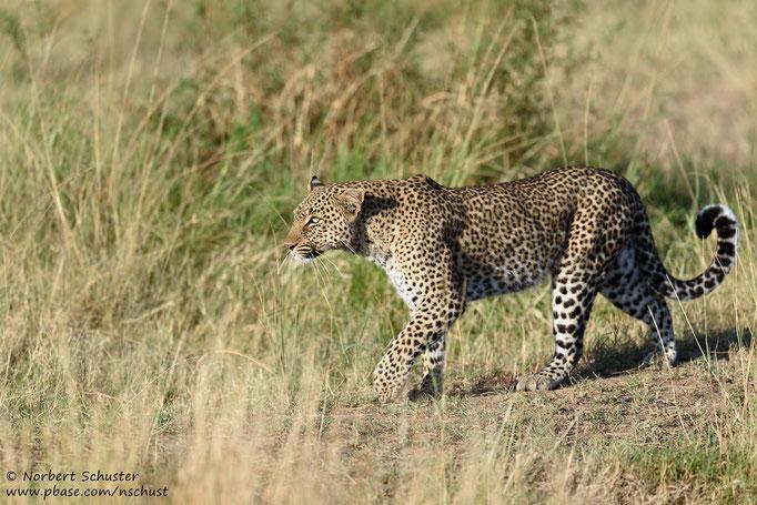 Leopardin Bahati im Morgenlicht. Nikon D750, AF-S Nikkor 600mm F 4.0E FL ED VR, 1/1250 F4.5 ISO 220