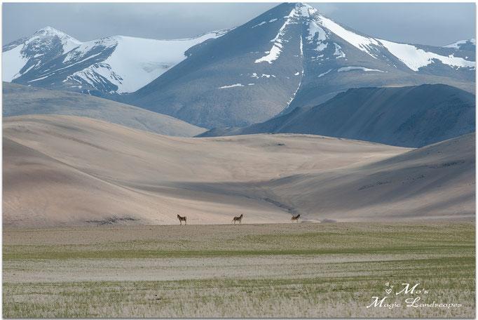 """""""Three Kyang near mountainrange"""" (2014)"""