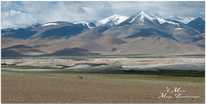 """""""Lonely Kyang at Lake TsoKar"""" (2014)"""