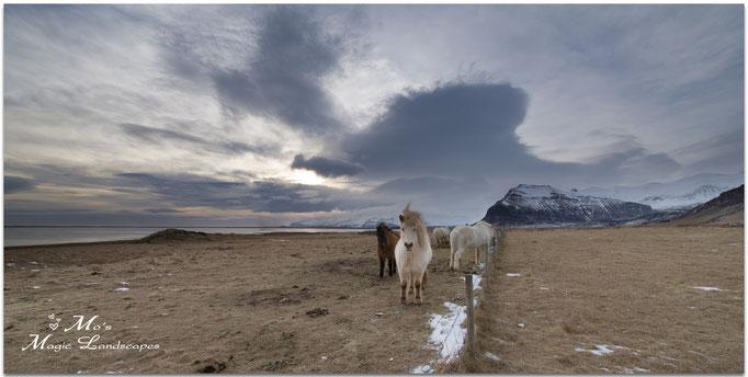 """""""Icelandic Horses"""" (2015)"""