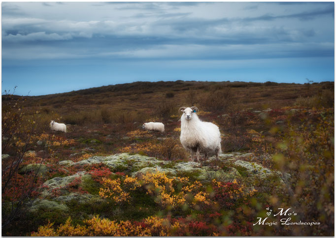 """Icelandic Sheep"" (2013)"