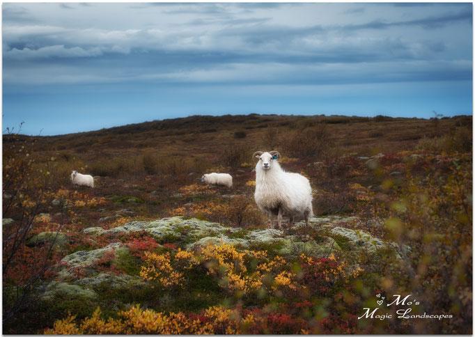 """Icelandic Sheep"" (2013)"