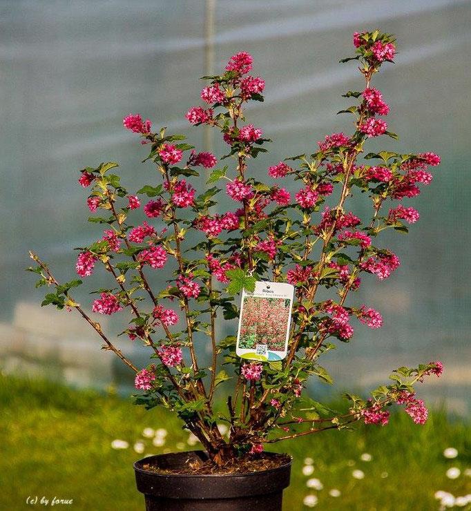 Ribes sanguineum_King Edward VII_Zier Johannesbeere
