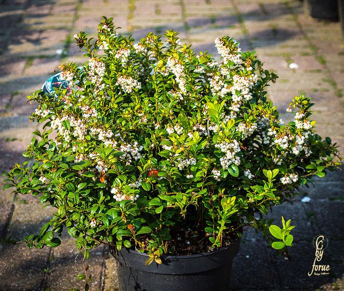 Vaccinium-vitis idaea-Miss Cherry