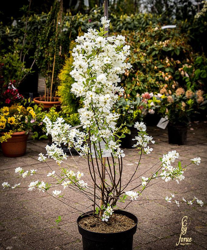Exochorda racemosa-Niagara-