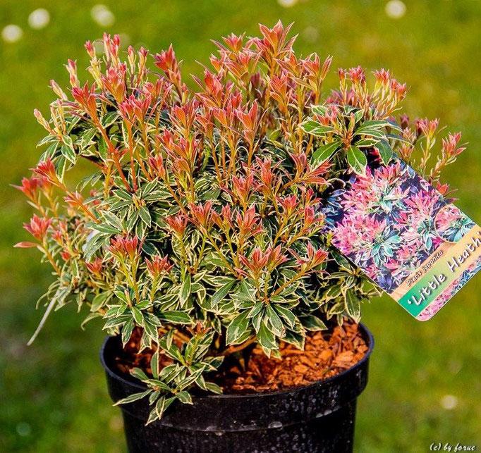 Pieris japonica _ Liitle Heath_