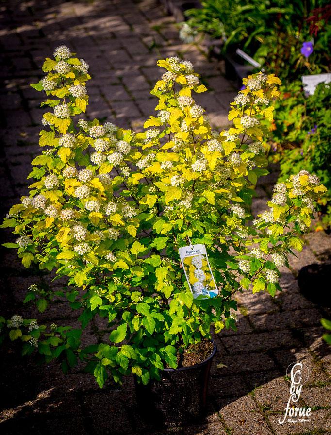 Physocarpus opulifolius _Dart`s Gold_