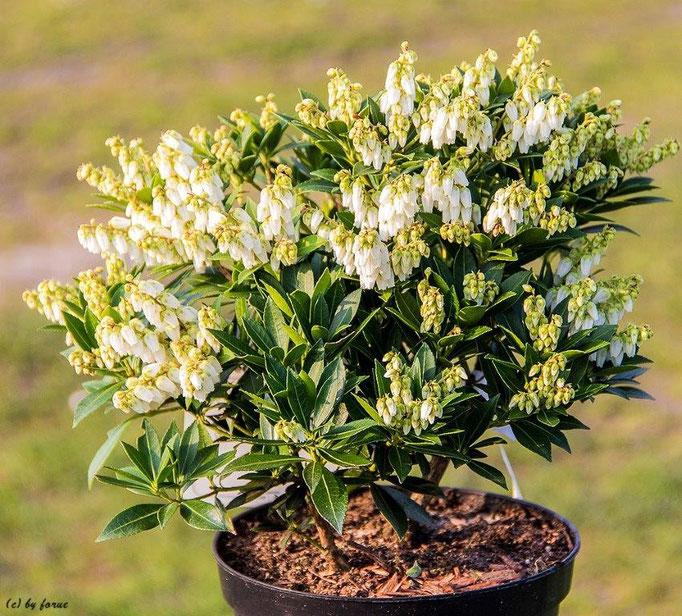Pieris japonica _Debutante_