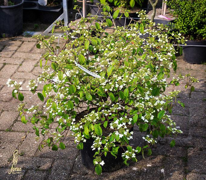Viburnum plicatum-Waternabe-Schneeball