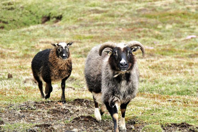 Und da waren sie wieder... Schafe mutieren langsam zu unseren Lieblingstieren :-)